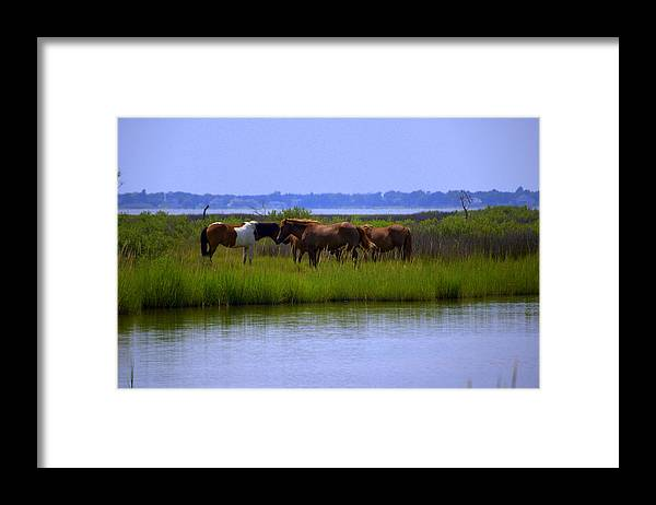 Horse Framed Print featuring the photograph Wild Horses Of Assateague Island by Robin Houde Photography