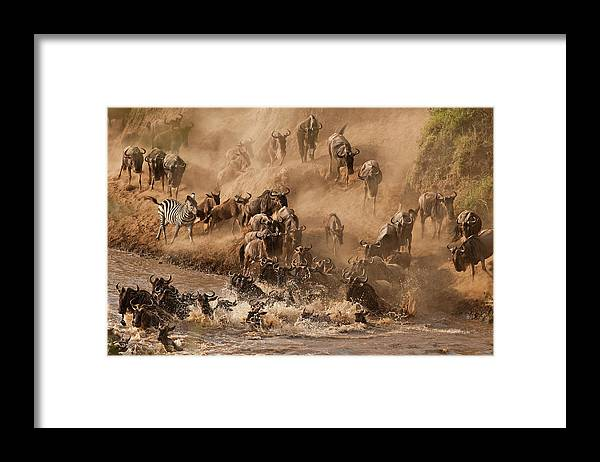 Horned Framed Print featuring the photograph Wildebeest And Zebra by Marsch1962uk
