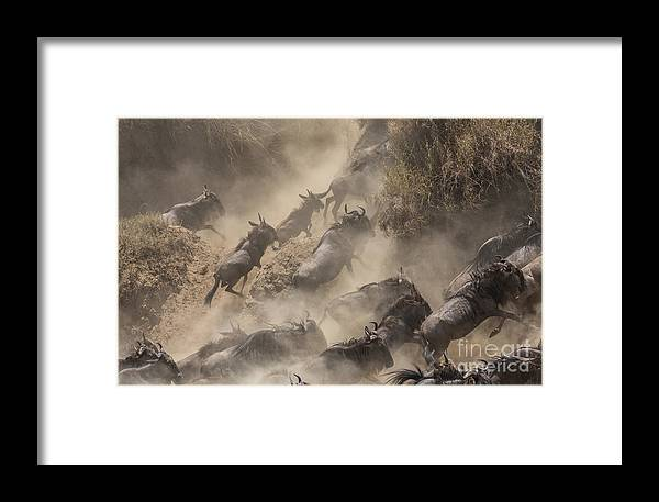 Tanzania Framed Print featuring the photograph Wildebeests Mara Crossing by Alexey Osokin
