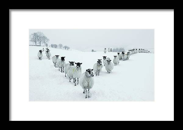 Cool Attitude Framed Print featuring the photograph Winter Sheep V Formation by Motorider