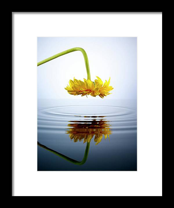 Tranquility Framed Print featuring the photograph Yellow Gerber Daisy Looking Into A Pool by Chris Stein