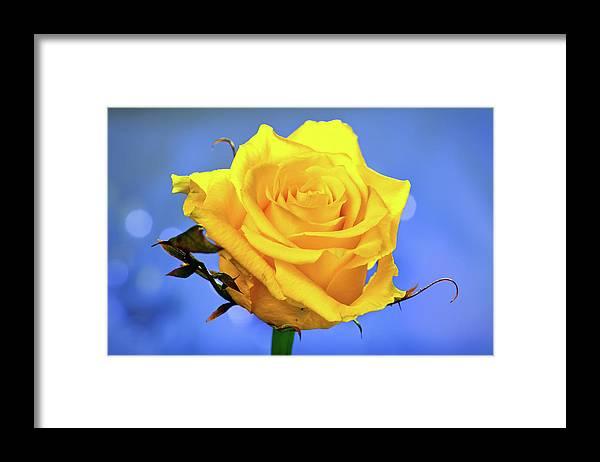 Slovenia Framed Print featuring the photograph Yellow Rose by © Karmen Smolnikar