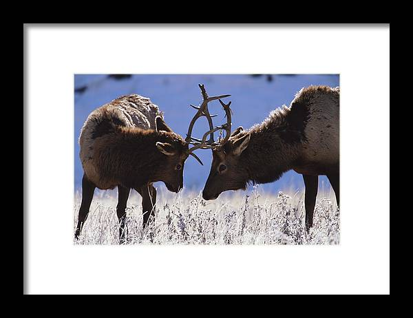 Animal Themes Framed Print featuring the photograph Young Bull Rocky Mountain Elk Cervus by Riccardo Savi