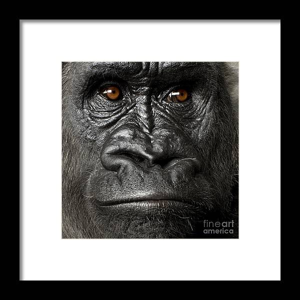 Studio Framed Print featuring the photograph Young Silverback Gorilla In Front Of A by Eric Isselee