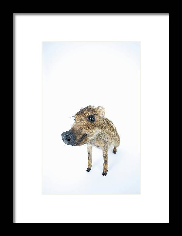 Animal Nose Framed Print featuring the photograph Young Wild Boar Sus Scrofa by Yasuhide Fumoto