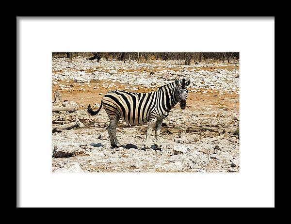 Animal Themes Framed Print featuring the photograph Zebra And White Rocks by Taken By Chrbhm