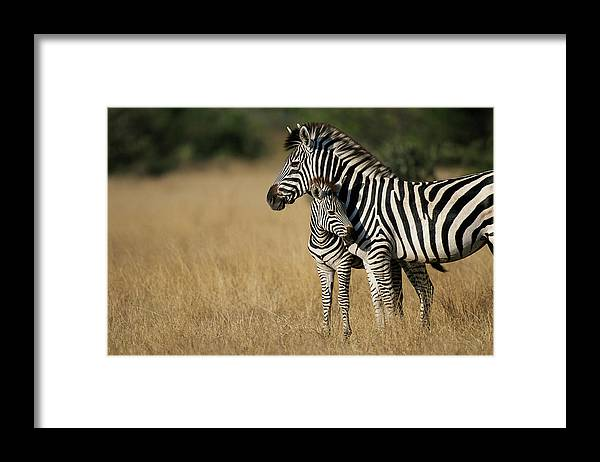Botswana Framed Print featuring the photograph Zebra Eqqus Burchelli With Colt, Savuti by Paul Souders