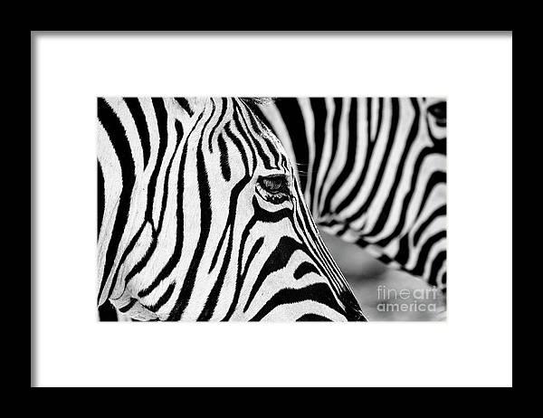 Animal Themes Framed Print featuring the photograph Zebra Stripes by Chris Kolaczan