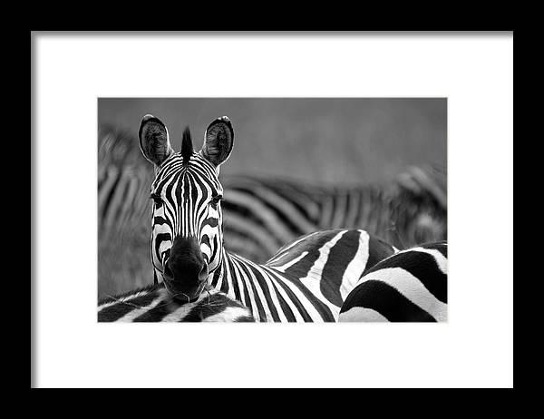 Plains Zebra Framed Print featuring the photograph Zebra by Wldavies