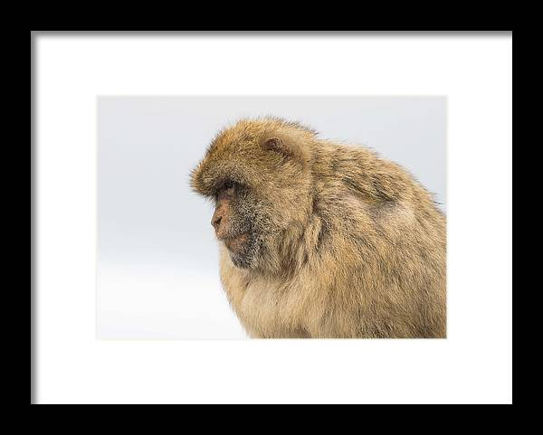 One Animal Framed Print featuring the photograph Barbary Macaque by Elizabeth W. Kearley