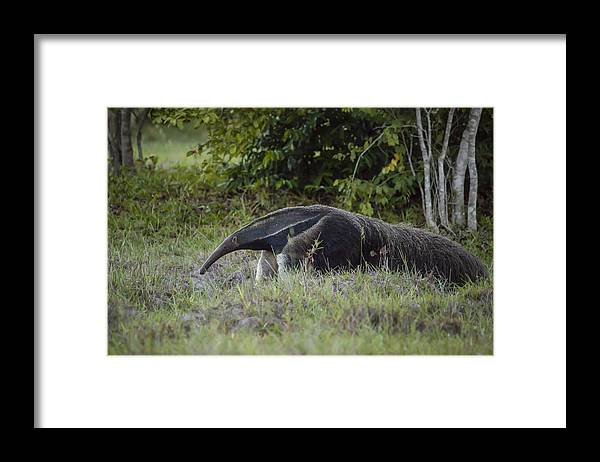 Animals In The Wild Framed Print featuring the photograph Giant anteater (myrmecophaga tridactyla), cerrado region, Brazil by Joao Inacio