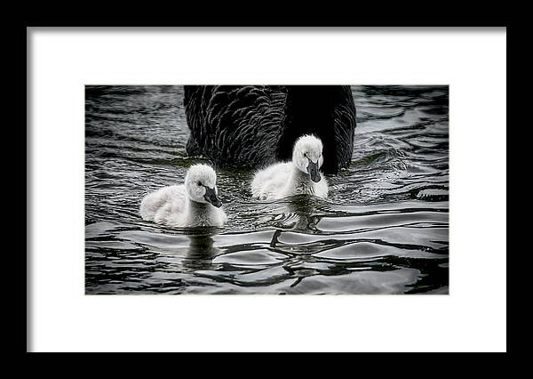 Black Swan Cygnets Framed Print featuring the photograph Young 'uns, Black Swan Cygnets by Zayne Diamond Photographic