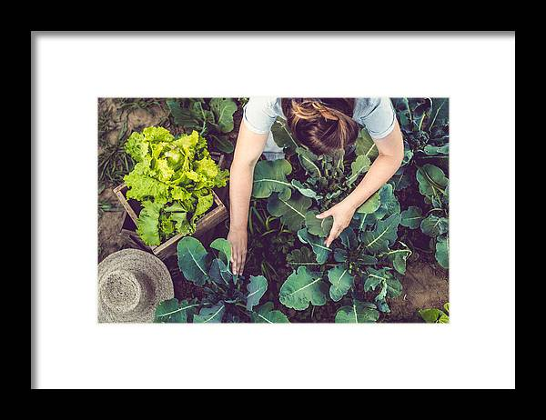 Working Framed Print featuring the photograph Young Woman Harvesting Home Grown Lettuce by Sanjeri