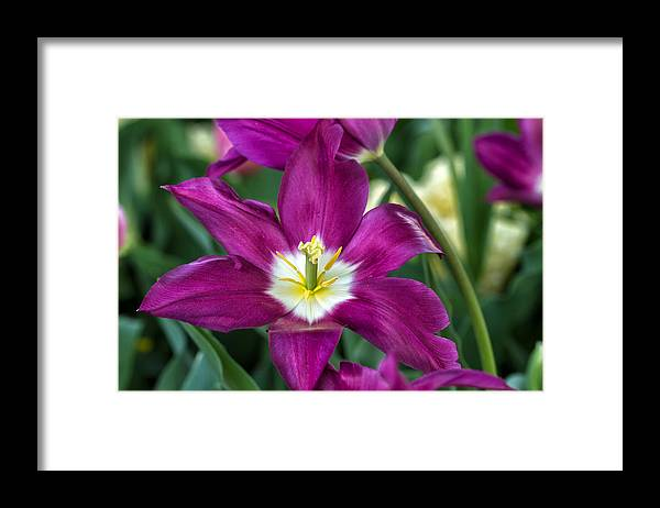 Purple Framed Print featuring the photograph Perfect Purple! by Jean-Marc PAYET