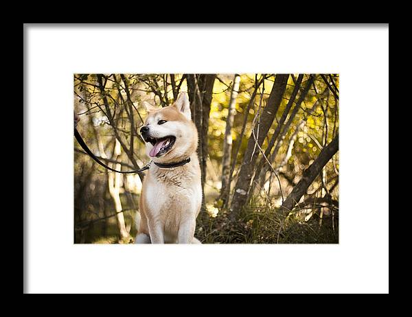 Animal Themes Framed Print featuring the photograph Akita inu dog on a walk in the forest by Katja Gavric