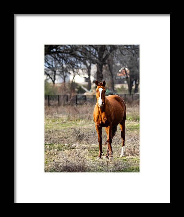 Horse Framed Print featuring the photograph Bay Horse 3 by C Winslow Shafer
