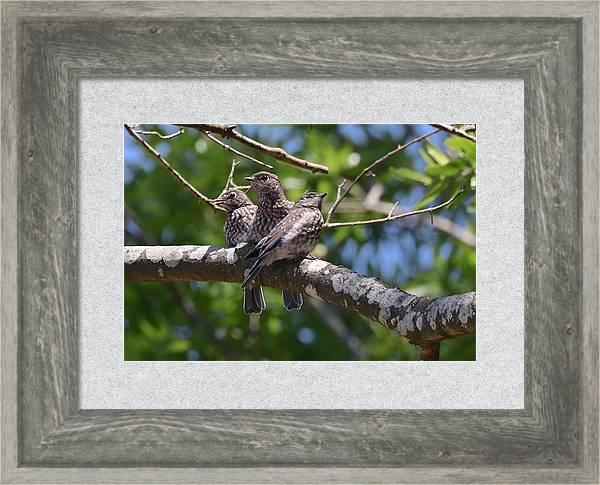 Bluebird Babies by Jenny Hanna