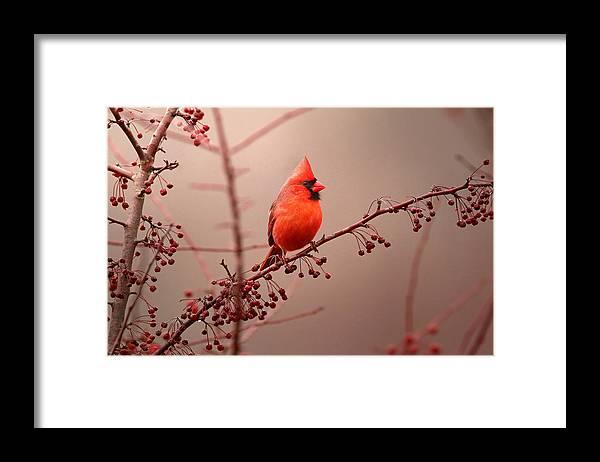 Cardinal Framed Print featuring the photograph Bold Beauty by Rob Blair