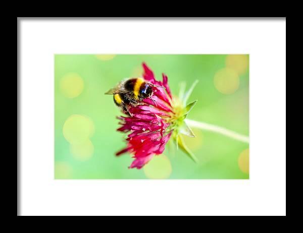 Insect; Bumblebee; Garden; Flowers; Flora; Knautia Macedonica; Melton Pastels; Pink Flower Framed Print featuring the photograph Bumblebee on Knautia macedonica by Mihaela Limberea
