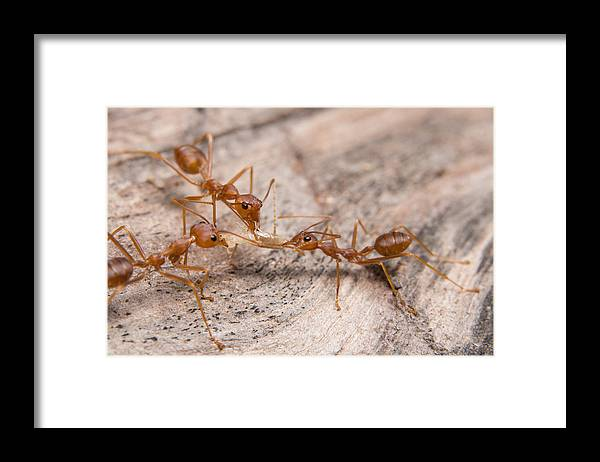 Insect Framed Print featuring the photograph Close-Up Of Ant On Wood by Aukid Phumsirichat / EyeEm
