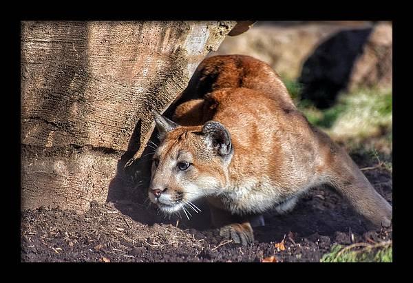 Cougar on the Hunt by Jason Przewoznik