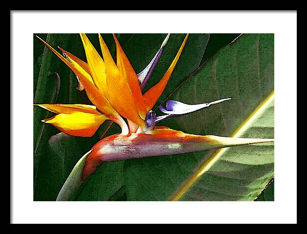 Bird Of Paradise Framed Print featuring the photograph Crane Flower by James Temple