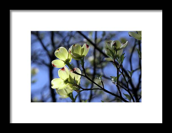Dogwood Tree Framed Print featuring the photograph Dogwood in Sunlight by John Lautermilch