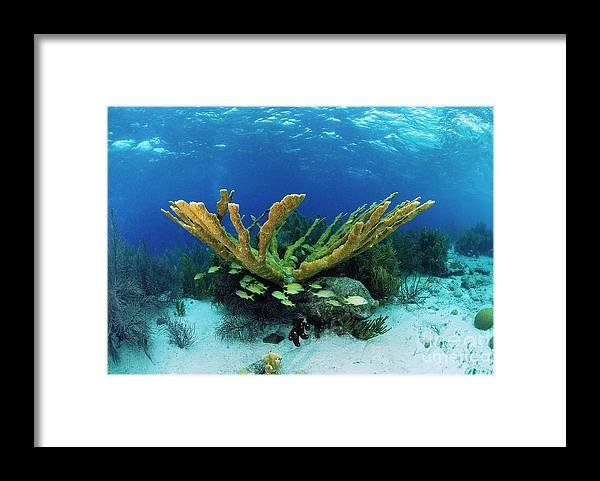 70007084 Framed Print featuring the photograph Elkhorn Coral by Hans Leijnse