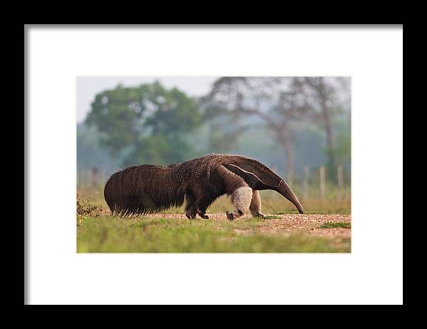 Grass Framed Print featuring the photograph Giant Anteater in Pantanal by Peter Schoen