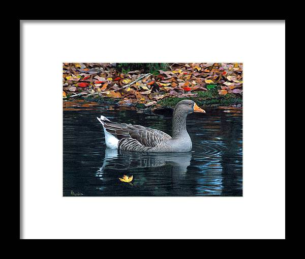 Bird Framed Print featuring the drawing Great White-fronted Goose by Brent Ander