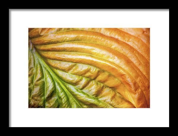 Hosta Framed Print featuring the photograph Hosta Leaf Fall by Trevor Slauenwhite