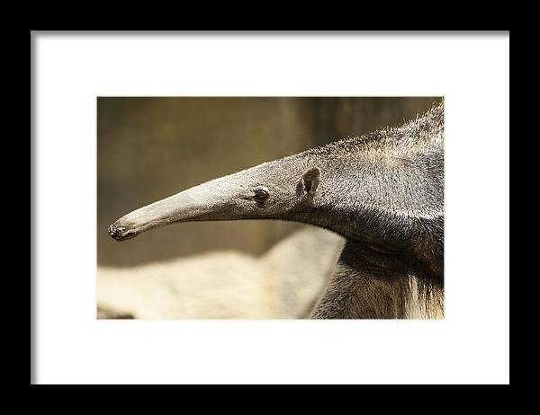 Animal Nose Framed Print featuring the photograph It's Mr. Long Nose by Suzy Simons