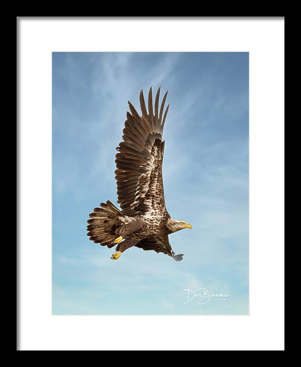 Eagle Framed Print featuring the photograph Juvenile Bald Eagle In Flight 1033 by Dan Beauvais