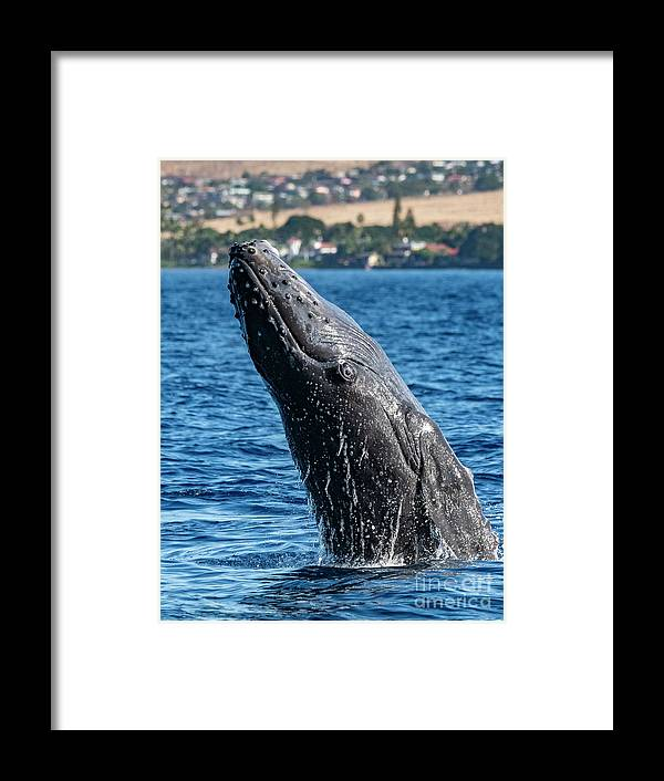00595515 Framed Print featuring the photograph Juvenlie Humpback Breaching by Flip Nicklin