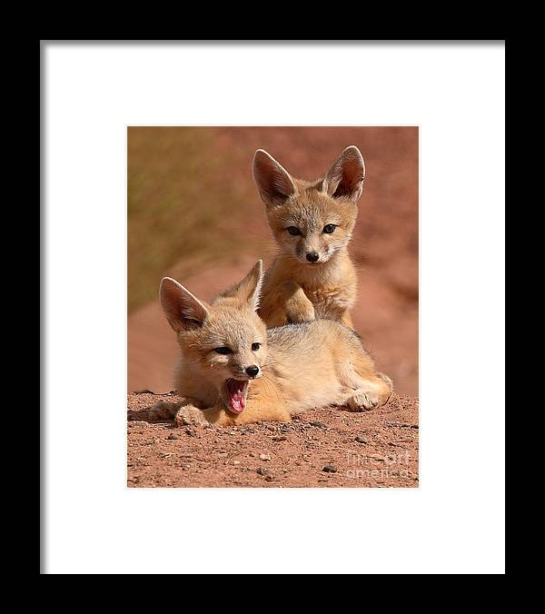 Fox Framed Print featuring the photograph Kit Fox Twin Pups by Max Allen