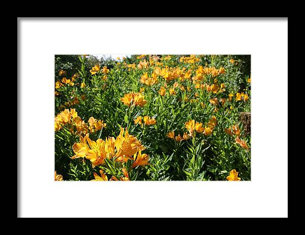 Lily Of The Incas Framed Print featuring the photograph Lily of the Incas by Vicki Cridland