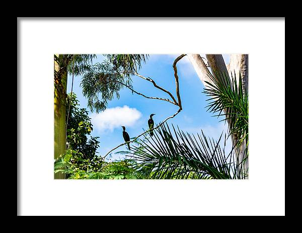 Cormorant Framed Print featuring the photograph Neotropic cormorant by CRMacedonio