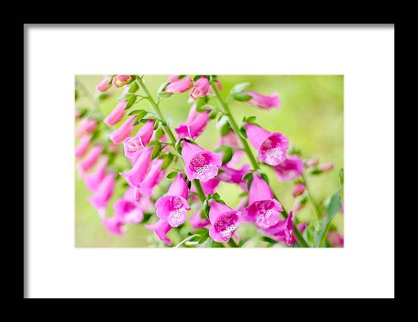 Garden; Flowers; Flora; Digitalis; Foxgloves; Pink; Pink Flower; Close Up; Sweden; Stockholm Framed Print featuring the photograph Pink Foxgloves by Mihaela Limberea