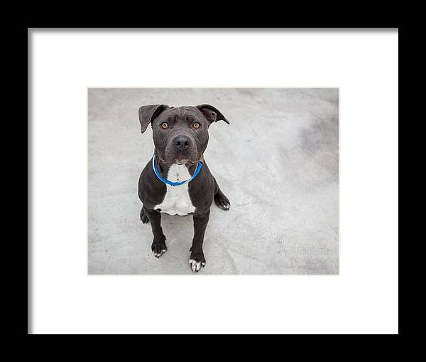 Pets Framed Print featuring the photograph Pit bull dog sitting by Paul Park