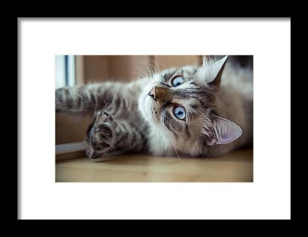 Pets Framed Print featuring the photograph Ragdoll Cat Casper by Alex Barlow