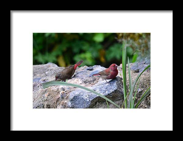 Animal Themes Framed Print featuring the photograph Red-billed Firefinch (Lagonosticta senegala) couple by Michele D'Amico supersky77