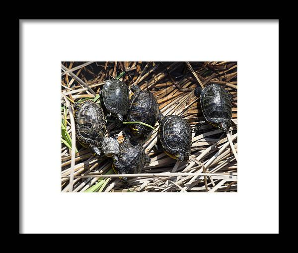 Tranquility Framed Print featuring the photograph Red-eared sliders / red-eared terrapins (Trachemys scripta elegans / Pseudemys scripta elegans / Emys elegans) group resting on log in lake by Jose A. Bernat Bacete