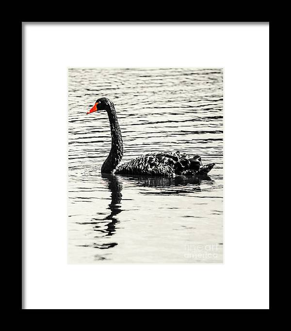 Black Framed Print featuring the photograph Reflective Black Swan by Jorgo Photography - Wall Art Gallery