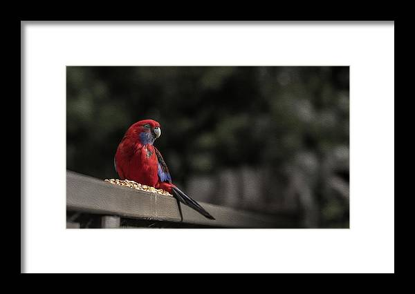 Rosella Framed Print featuring the photograph Rosella 1 by Leigh Henningham