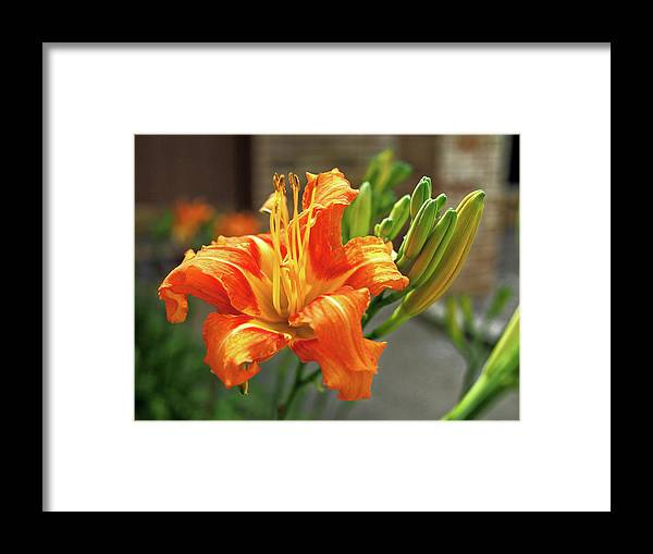 Orange Framed Print featuring the photograph Spring Flower 14 by C Winslow Shafer