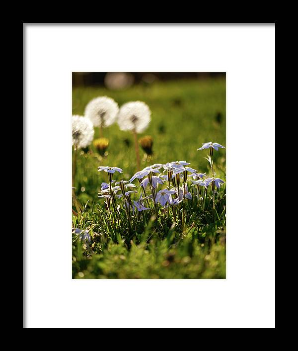 Star Flower Framed Print featuring the photograph Stars And Dandelions by Rachel Morrison