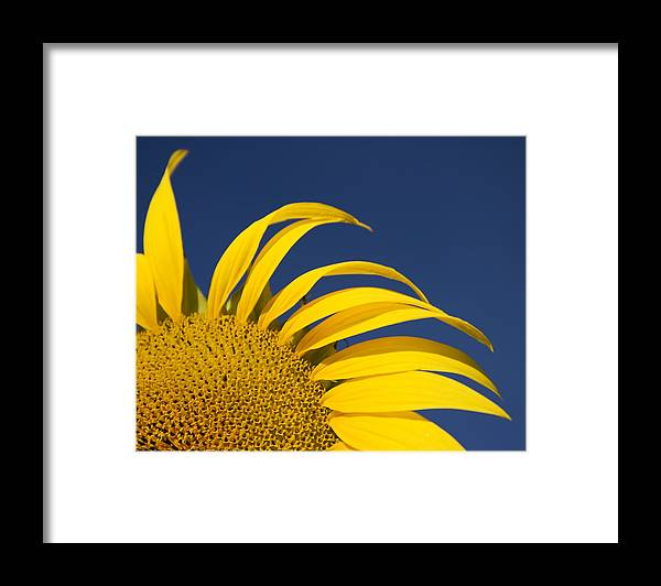 3scape Framed Print featuring the photograph Sunflower by Adam Romanowicz