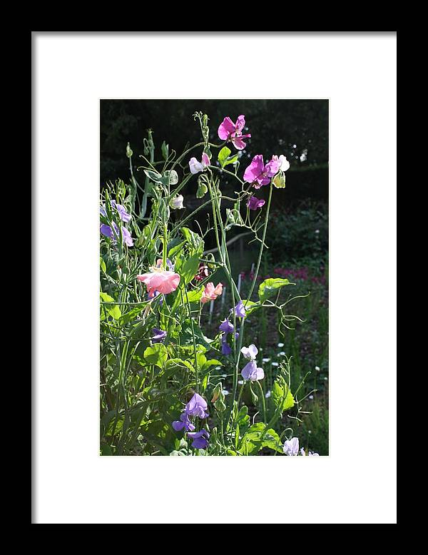 Sweet Peas Framed Print featuring the photograph Sweet Pea Climbers by Vicki Cridland