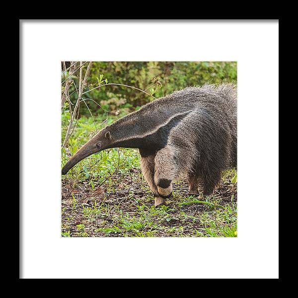 Grass Framed Print featuring the photograph Tamanduá Bandeira - Giant Anteater by Www.froehlich-photo.com