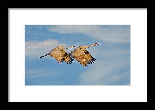 Sandhill Cranes Framed Print featuring the photograph Unison in Flight-Sandhill Cranes by Zayne Diamond Photographic